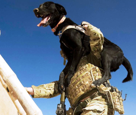 Another MWD. They really do anything their handlers do include climbing ladders Afghanistan. (Photo by Jamie Peters 10 Dec 12 Used with permission)