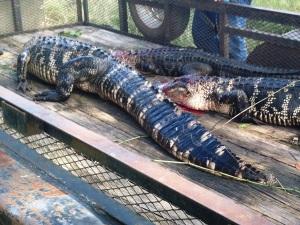 The three gators from the veterans' hunt.